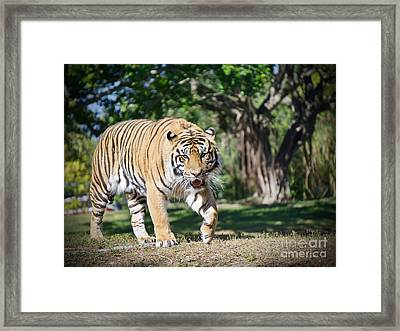 The Prowler Framed Print by Judy Kay