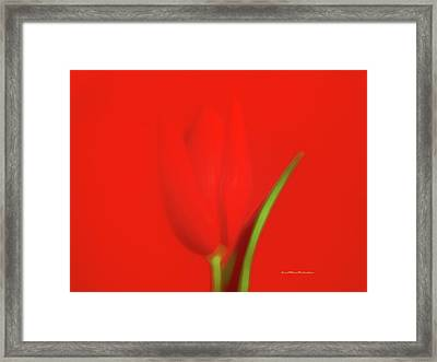 The Red Tulip Art Photograph Framed Print by Miss Pet Sitter
