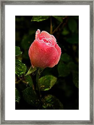 The Rose Framed Print by Phil Koch