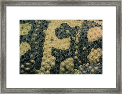 The Skin Of A Gila Monster From Omahas Framed Print by Joel Sartore