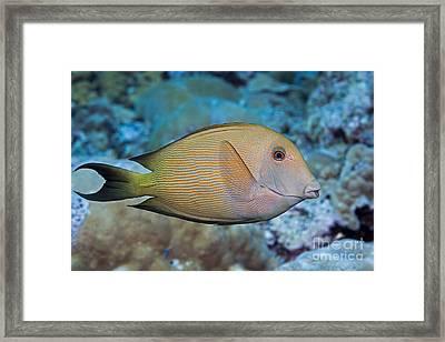 The Striated Surgeonfish  Ctenochaetus Framed Print by Dave Fleetham