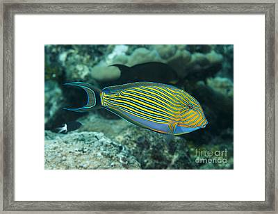 The Striped Surgeonfish  Acanthurus Framed Print by Dave Fleetham