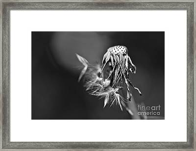 The Underrated Dandelion 1 Framed Print by Natalie Kinnear