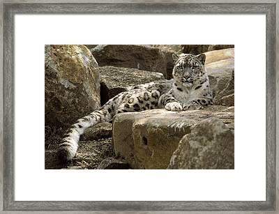 The Watchful Stare Of A Snow Leopard Framed Print by Jason Edwards