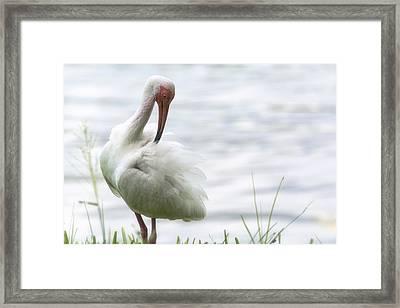 The White Ibis  Framed Print by Saija  Lehtonen