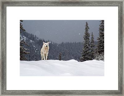 The Wolf Framed Print by Evgeni Dinev