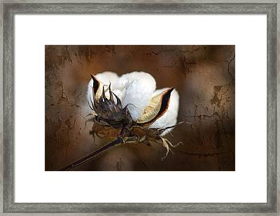 Them Cotton Bolls Framed Print by Kathy Clark
