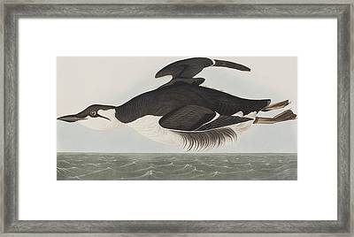 Thick-billed Murre Framed Print by John James Audubon