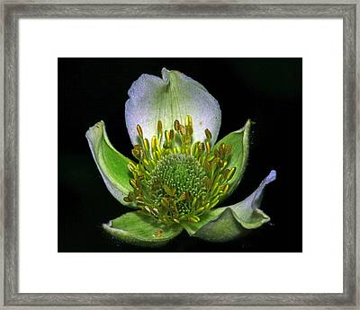 Thimbleweed Anemone Virginiana Framed Print by Ron Kruger