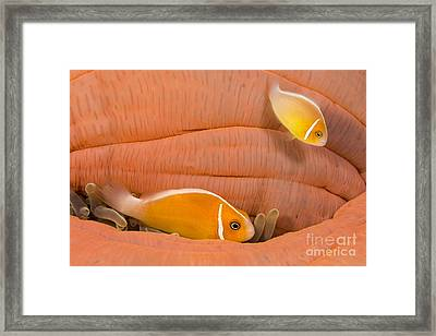 This Common Anemonefish  Amphiprion Framed Print by Dave Fleetham
