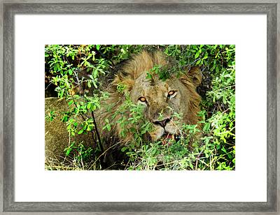 This Lion Is Watching You Framed Print by Kay Brewer