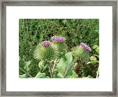 Thistle Trinity Framed Print by Valerie Ornstein