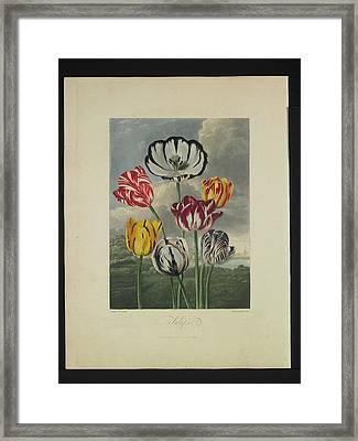 Thornton - Tulips Framed Print by Pat Kempton