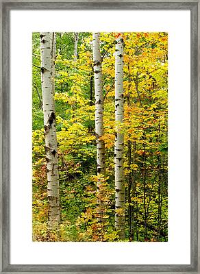 Three Birch Framed Print by Michael Peychich