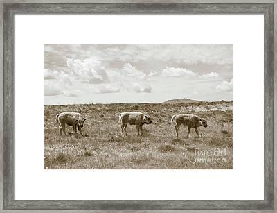 Three Buffalo Calves Framed Print by Rebecca Margraf