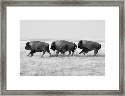 Three Buffalo In Black And White Framed Print by Todd Klassy