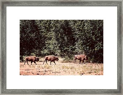 Three Buffalo On The Reserve Framed Print by Tamyra Ayles