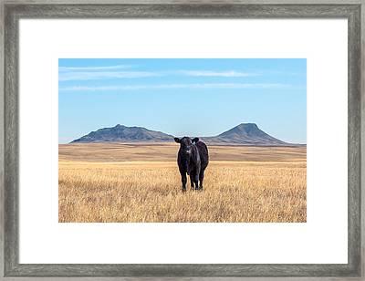 Three Buttes Steer Framed Print by Todd Klassy