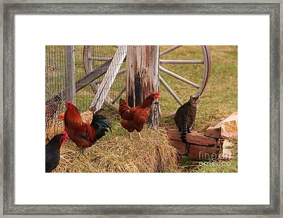 Three Chickens And A Cat Framed Print by James BO  Insogna