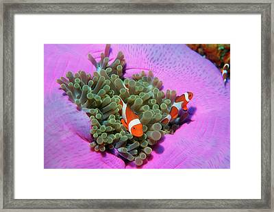 Three Clown Fishes On Sea Anemone, Andaman Sea, Thailand Framed Print by Georgette Douwma