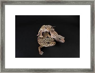 Three Female Leopard Geckos Eublepharis Framed Print by Joel Sartore