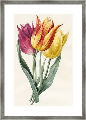 Three Lily Tulips  Framed Print by Louise D'Orleans