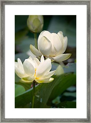 Three Lotus Flowers Framed Print by Mary Almond