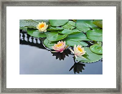 Three Lovely Hardy Waterlily Blossoms Framed Print by Byron Varvarigos