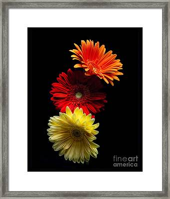 Three Luminous Daises Framed Print by George Oze