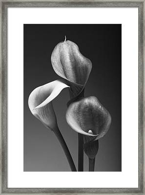 Three Pink Calla Lilies Framed Print by George Oze
