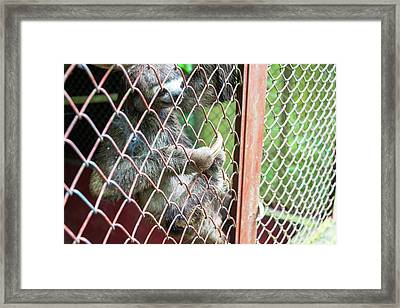 Three Toed Sloth In A Cage Framed Print by Jess Kraft