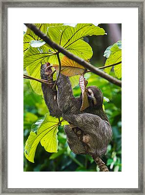 Three-toed Sloth, Sarapiqui, Costa Rica Framed Print by Panoramic Images