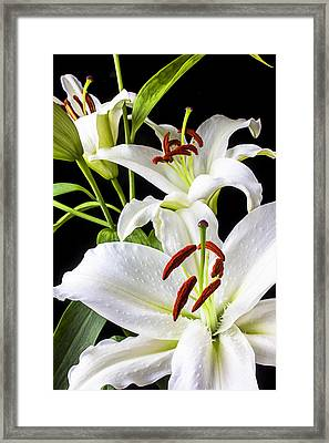 Three White Lilies Framed Print by Garry Gay