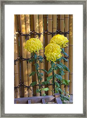 Three Yellow Blooms Framed Print by Richard Baker