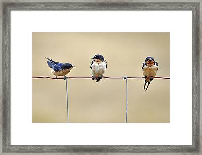 Three Young Swallows Framed Print by Laura Mountainspring