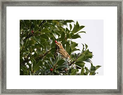 Thrush With A Holly Berry Framed Print by Terri Waters