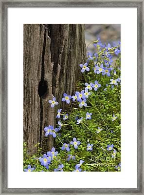 Thyme-leaved Bluets - D008426 Framed Print by Daniel Dempster