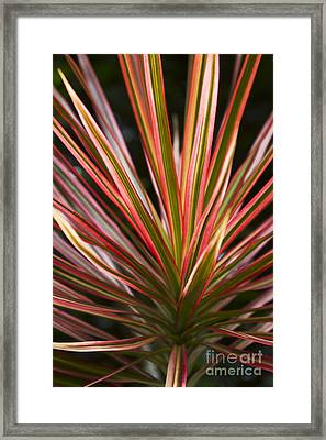 Ti Plant Cordyline Terminalis Red Ribbons Framed Print by Sharon Mau