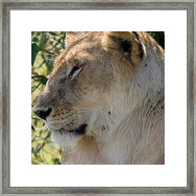 Tic Infested Lioness Framed Print by Joseph G Holland