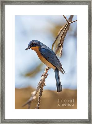 Tickells Blue Flycatcher, India Framed Print by B. G. Thomson