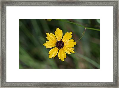 Tickseed Flower Framed Print by Kenneth Albin