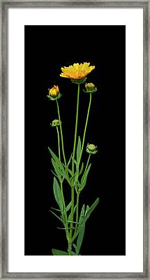 Tickseed Framed Print by Michael Peychich