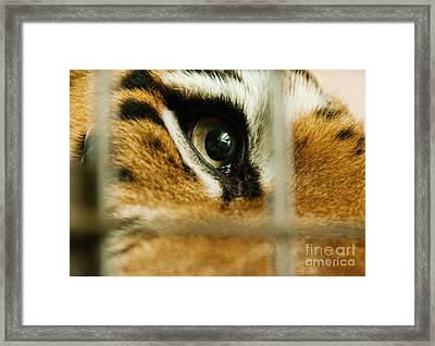 Tiger Behind Bars Framed Print by Melody Watson