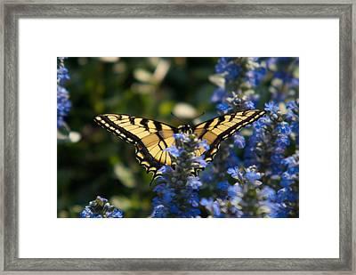 Tiger Butterfly Visiting Ajuga Framed Print by Douglas Barnett