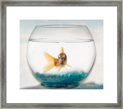Tiger Fish Framed Print by Juli Scalzi
