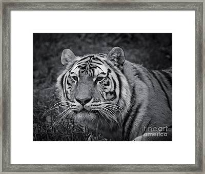 Tiger In The Grass Framed Print by Darcy Michaelchuk