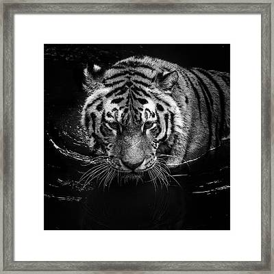 Tiger In Water Framed Print by Lukas Holas