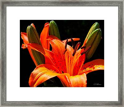 Tiger Lily Framed Print by Christopher Holmes