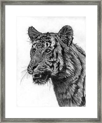 Tiger Study Framed Print by Kristy Holliday Main