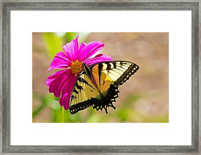 Tiger Swallowtail Butterfly. Framed Print by David Freuthal